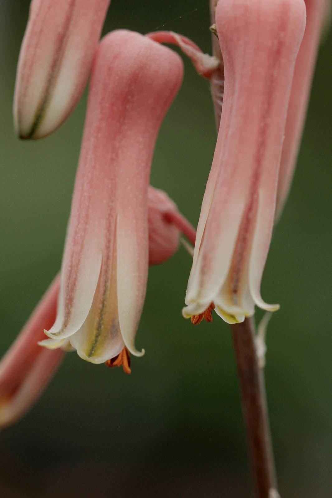Aloe jucunda - Flowers