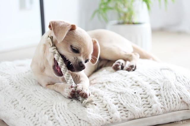 chihuahua pentu koira