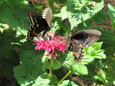 Two Black Tiger Swallowtails on Bee Balm
