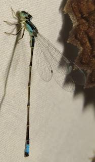 Acanthagrion