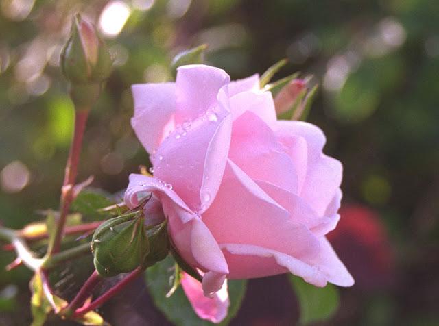 close rose