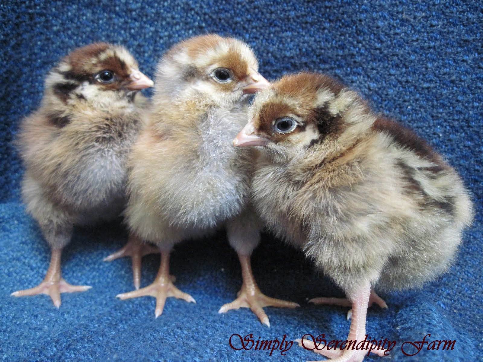 Murray McMurray Hatchery - Blue Laced Red Wyandotte