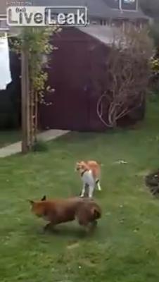 Gatos protegem a casa e atacam uma raposa