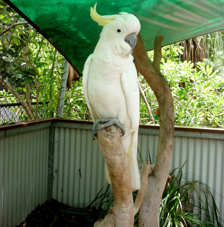 Sulphur Crested Cockatoo.