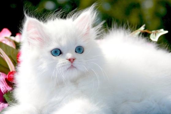 blue+eyed+white+persian+kitten.PNG