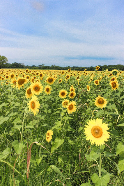 Sunflower field, sunflowers, Murfreesboro, Tennessee