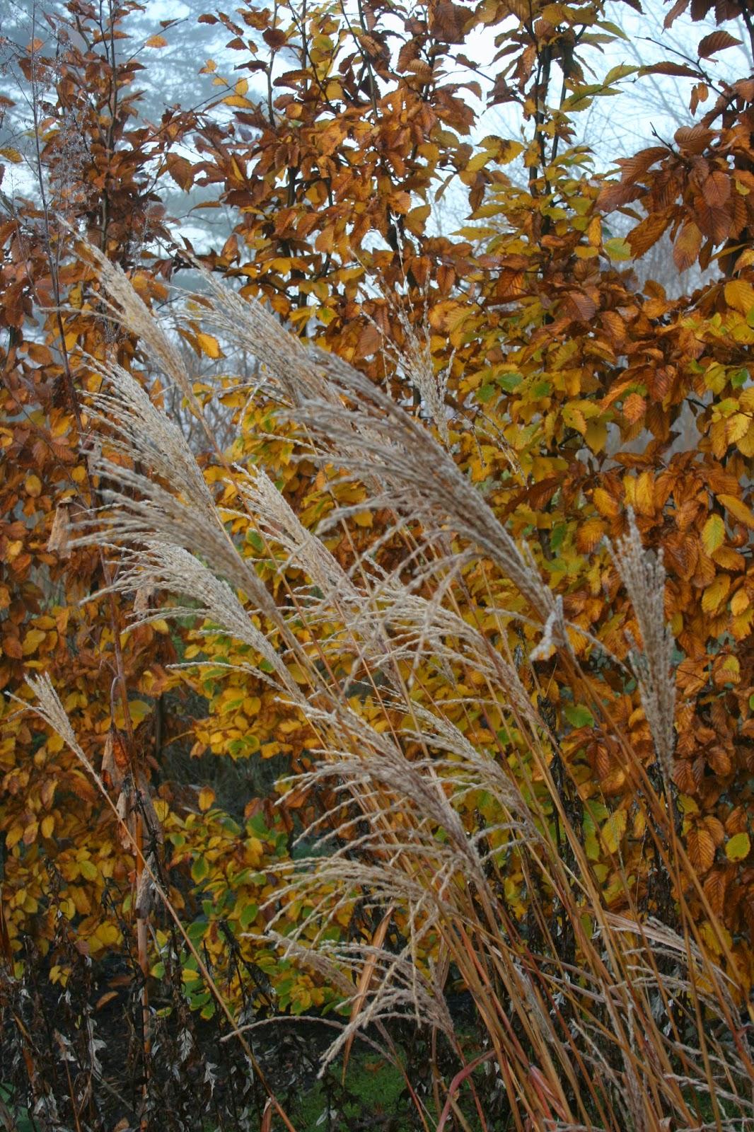 Japanskt gräs Miscanthus sinensis