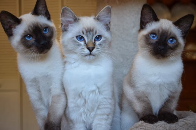 Lilac Lynx Point Siamese Sold siamese/balinese kittens