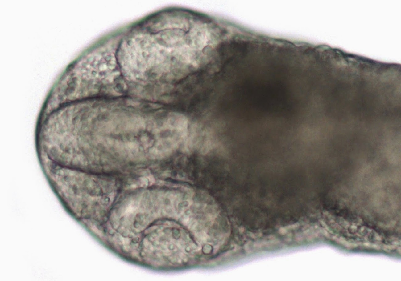 vertebrate embryo brain built in vitro