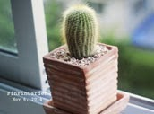 http://finfingarden.blogspot.com/2014/12/eriocactus-leninghausii-cactus-cacti.html