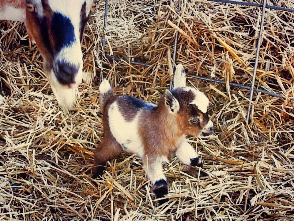 Funny animals of the week - 17 January 2014 (40 pics), little baby goat