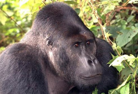 Silverback eastern lowland gorilla in Chimanunka group