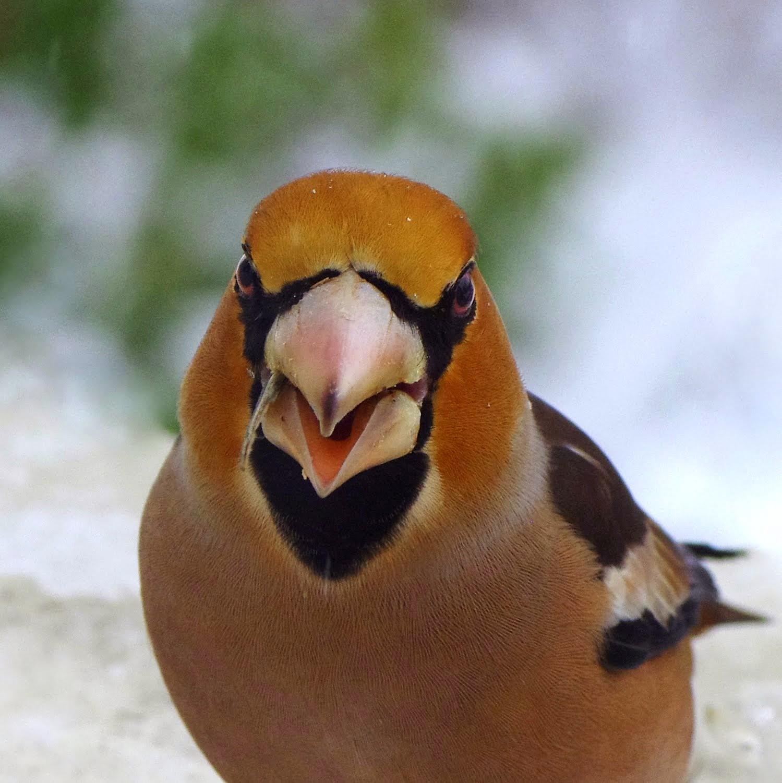 Cran ot nature liste des oiseaux observ s cet hiver dans for Passereaux des jardins