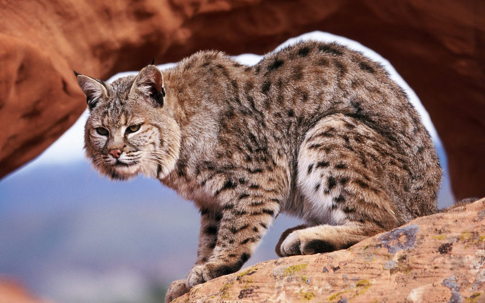 wild cats wallpaper collection - photo #21