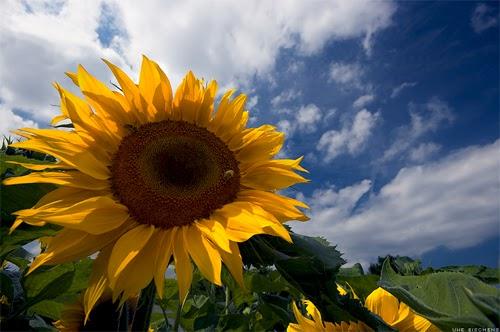 Gambar bunga matahari, kepentingan bertanya, tanya dulu sebelum mencadangkan