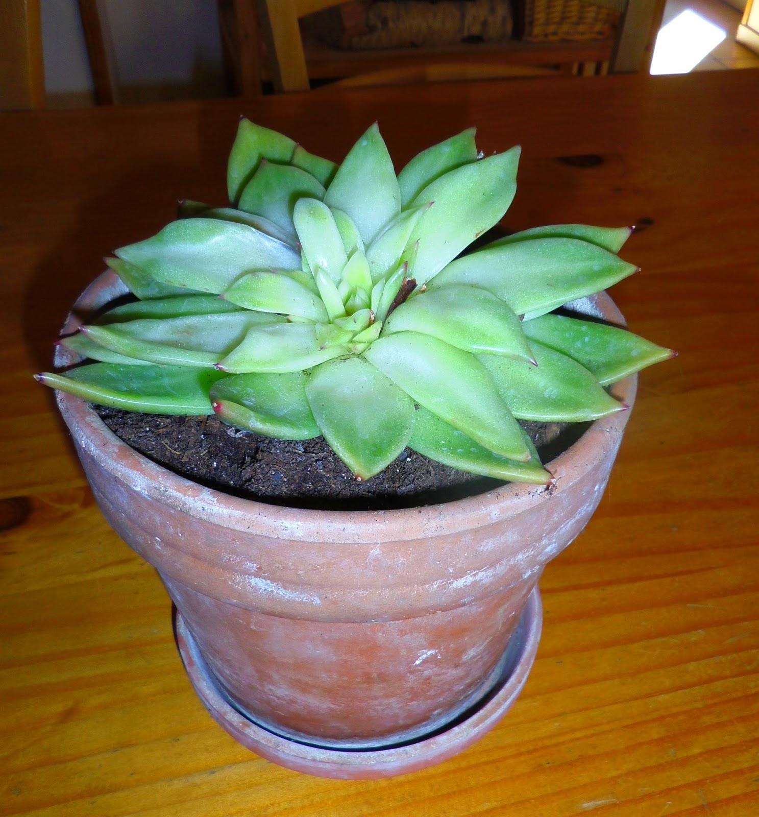 Blandinde fait son blog aux petits soins pour mes plantes vertes - Rempoter une plante grasse ...