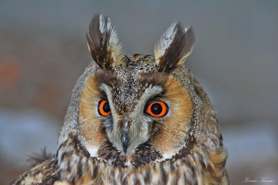 1. Photograph Long-eared owl by Kerem Kasın