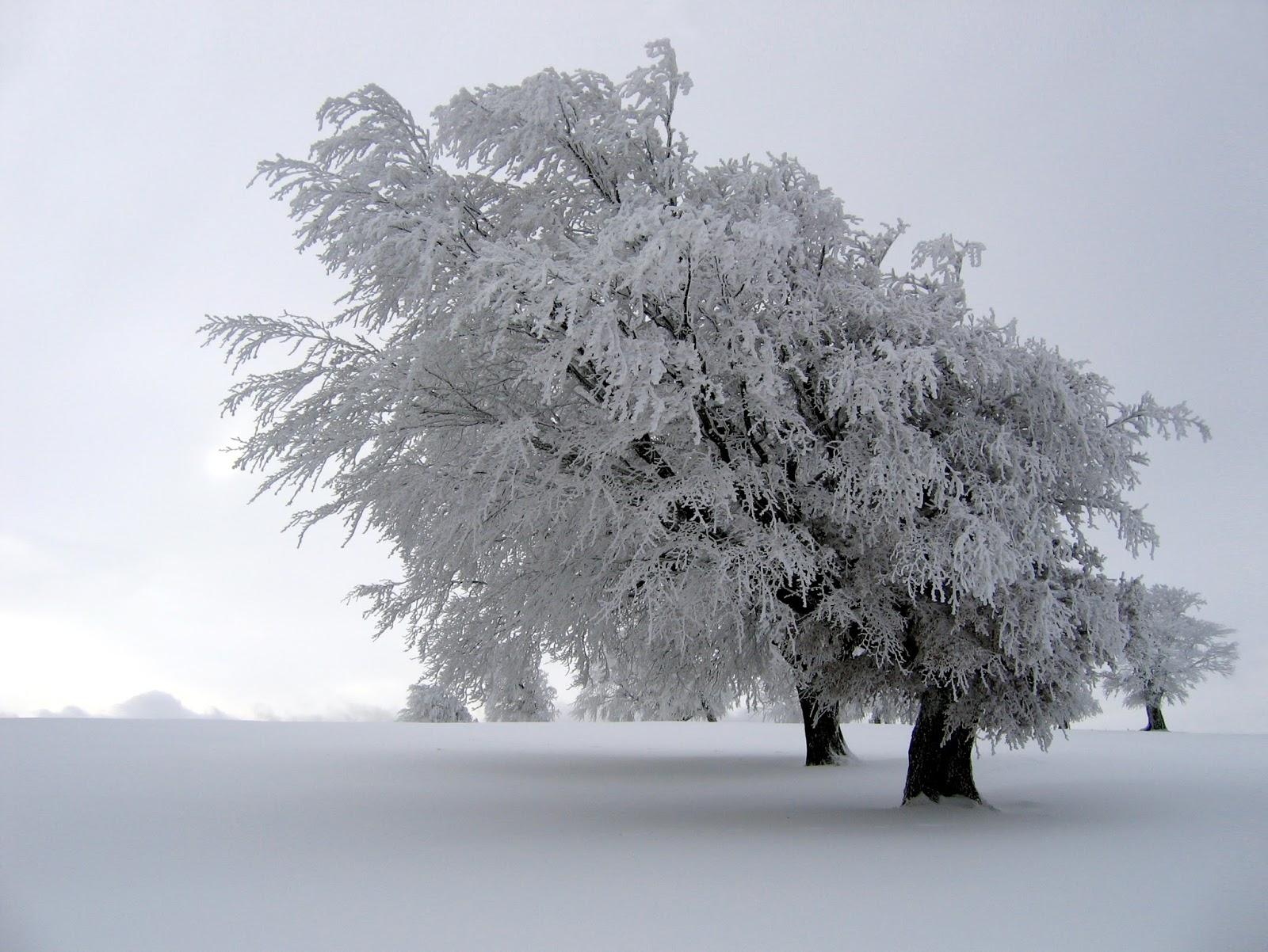 Imagen: Árbol repleto de nieve y hielo