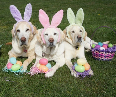 three yellow Labs wearing bunny ears with colorful Easter eggs between their paws