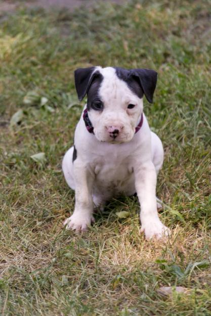 Black And White Pitbull Puppies For Sale Images & Pictures - Becuo