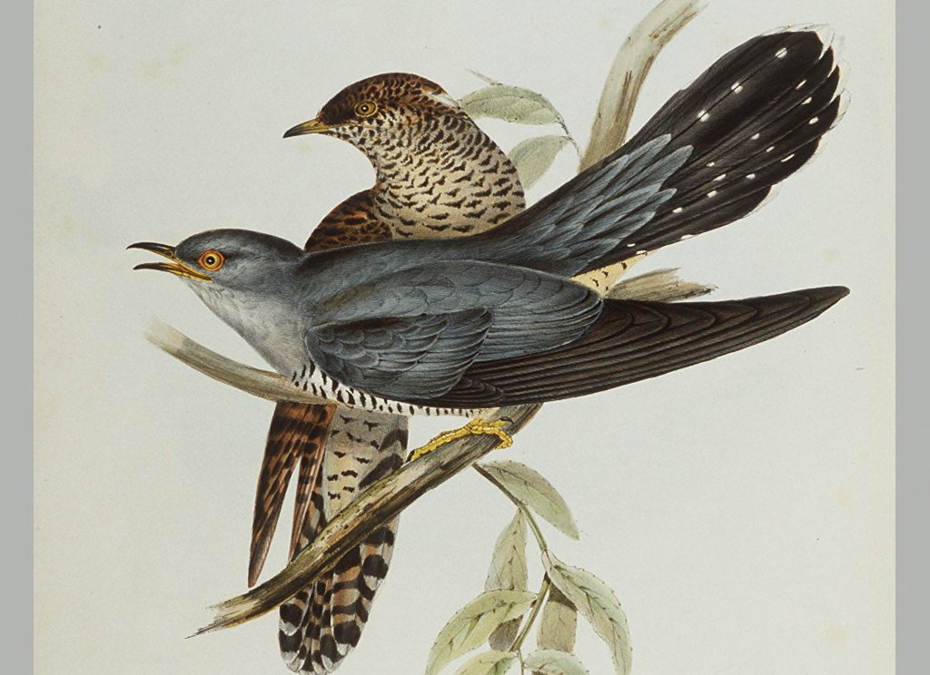 Goulds Birds Of Europe The Common Cuckoo 1837