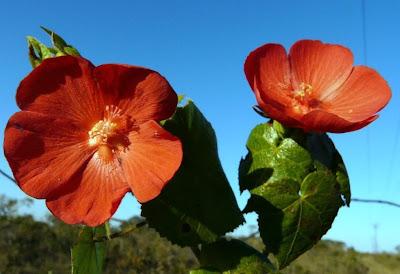 Flor do Cerrado - foto de JC Patrício