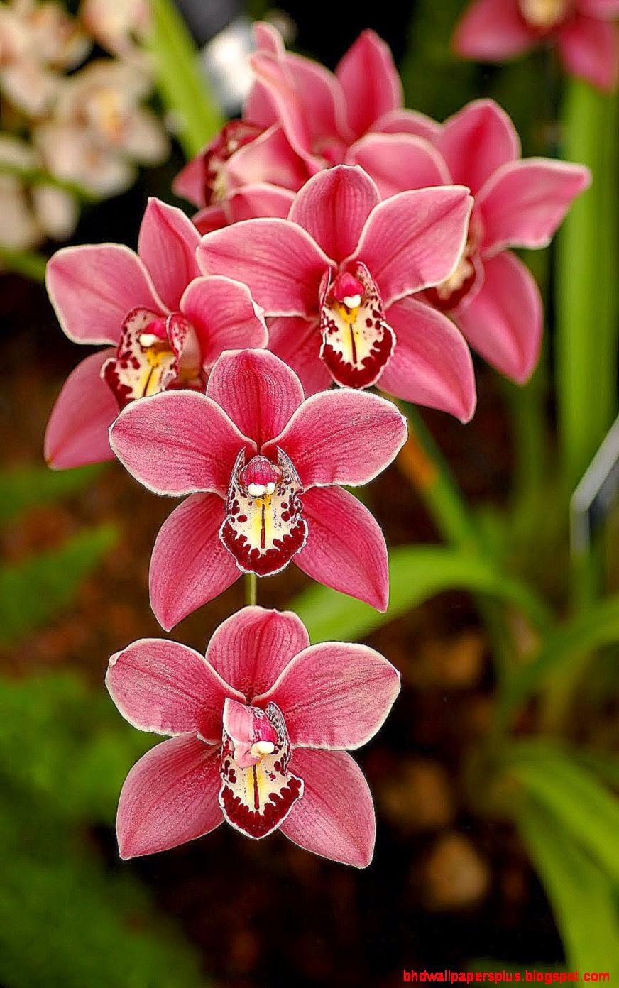 orchid flower  Green Wallpaper