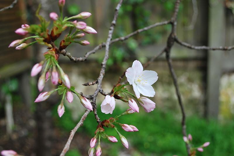 cherry blossom 10 minute