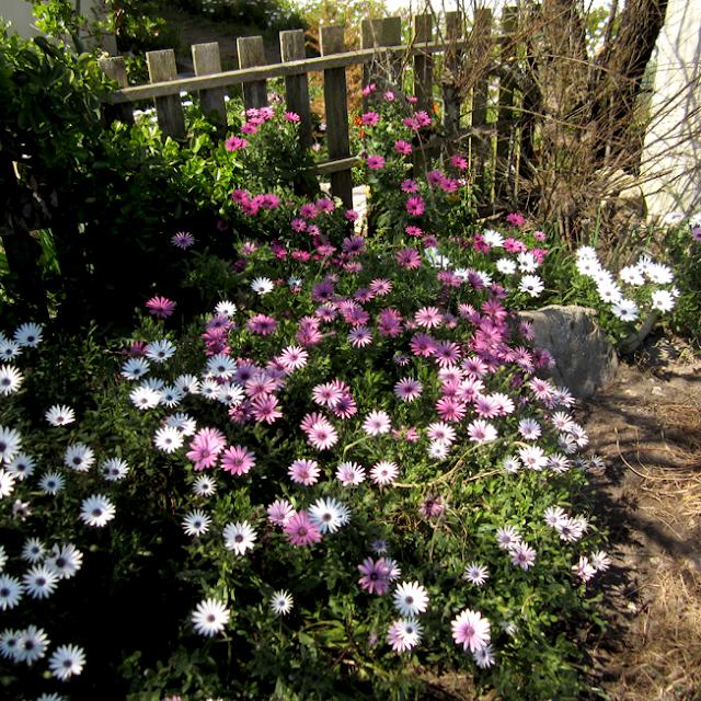 l'Ile d'Aix - fleurs - http://spicerabbits.blogspot.fr/