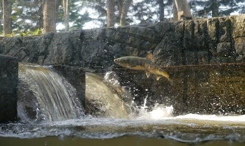 川を遡上する間、餌を食べない鮭の親魚