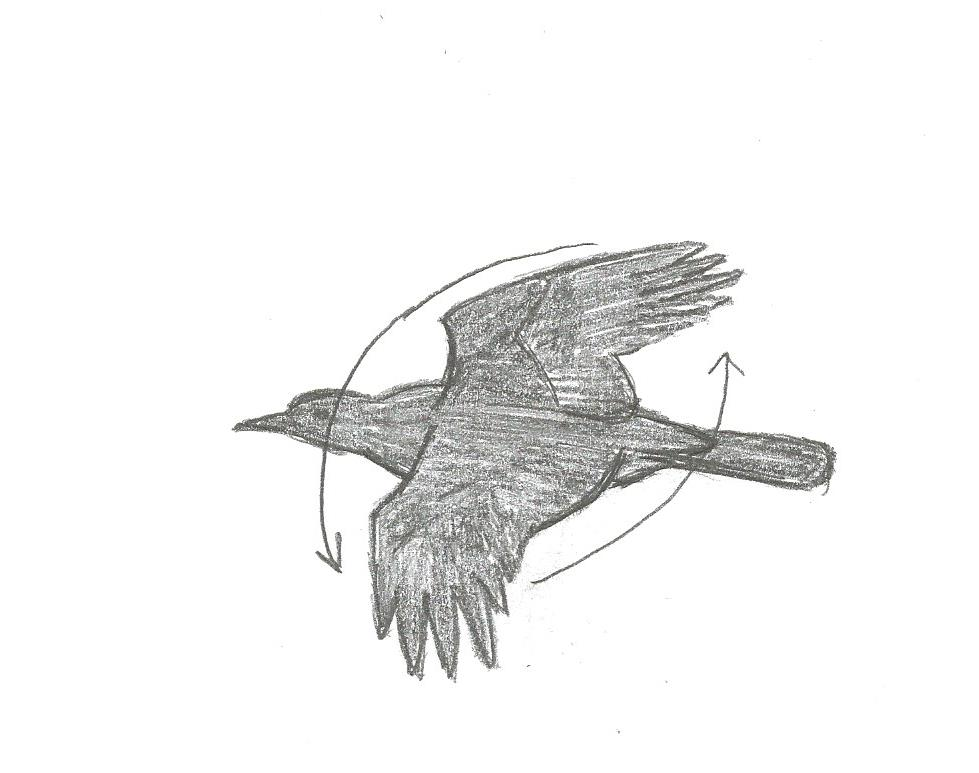 figure 21 wing movement of american crow in flight down and forward