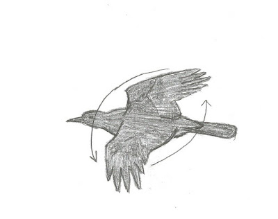Figure 21: Wing movement of American Crow in flight. Down-and-forward, up-and-back in a steady rowing motion.