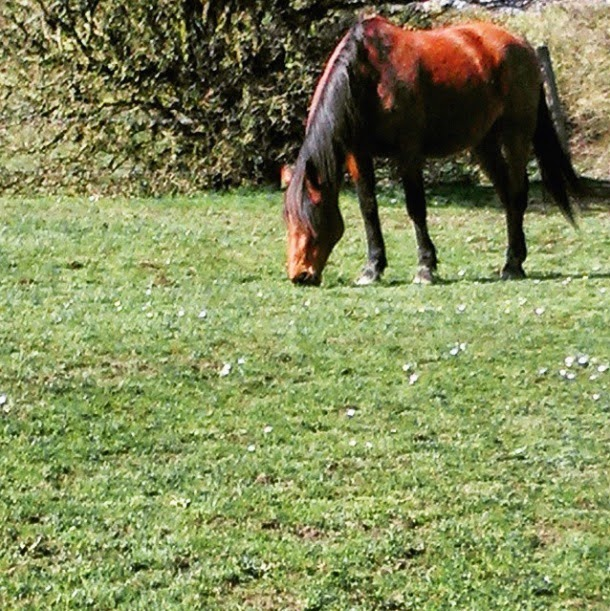 Chestnut brown horse in british countryside eating grass. Seen while out on walkies with dog. Spring time walks.