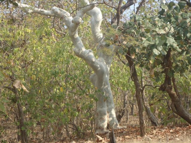 Gir, Sasan Gir, Trees