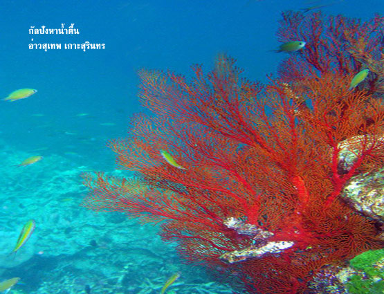 กัลปังหาน้ำตื้น จ.พังงา Unssen Thailand