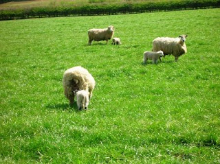 Sheep at Ashby Parva