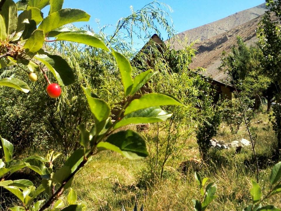 Primeras Guindas Amargas en Alcohuaz