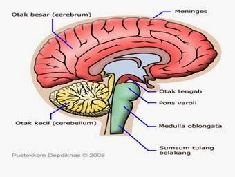 SISTEM SYARAF (SYSTEMA NERVOSUM) PADA SAPI