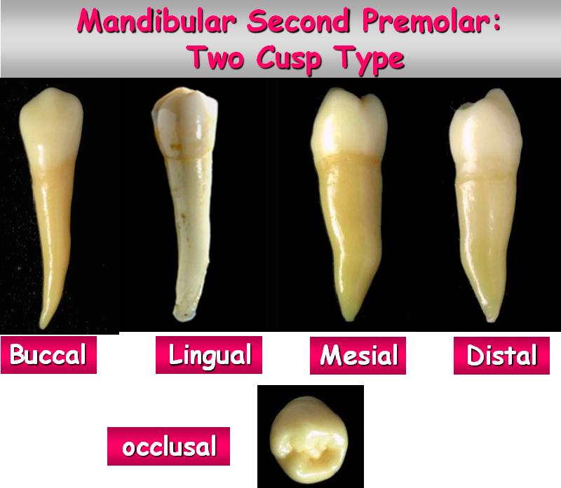 Dentistry lectures for MFDS/MJDF/NBDE/ORE: A Note on Dental Anatomy ...
