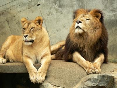 ライオンの画像 p1_24