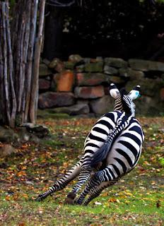 Runaway Zebra Final