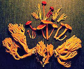 Mushrooms  of  North  Carolina  (1995)