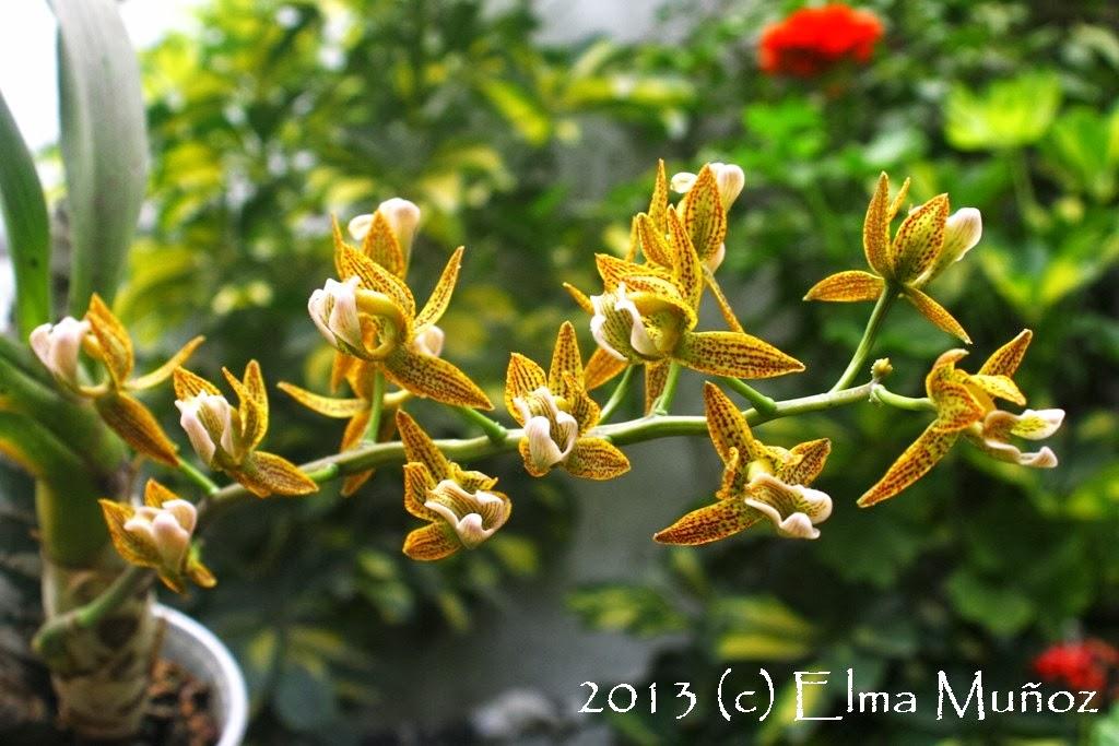 Mormodes wolteriana. Orquideas peruanas