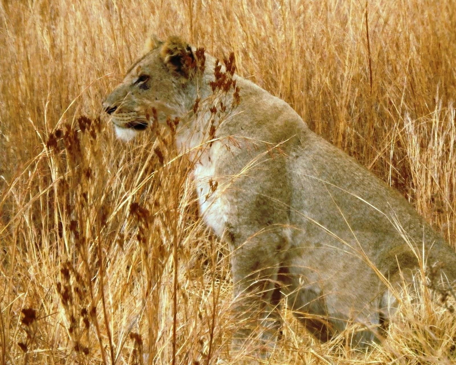 Fat Lioness 84