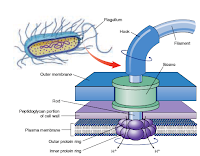 Bacterial Flagella