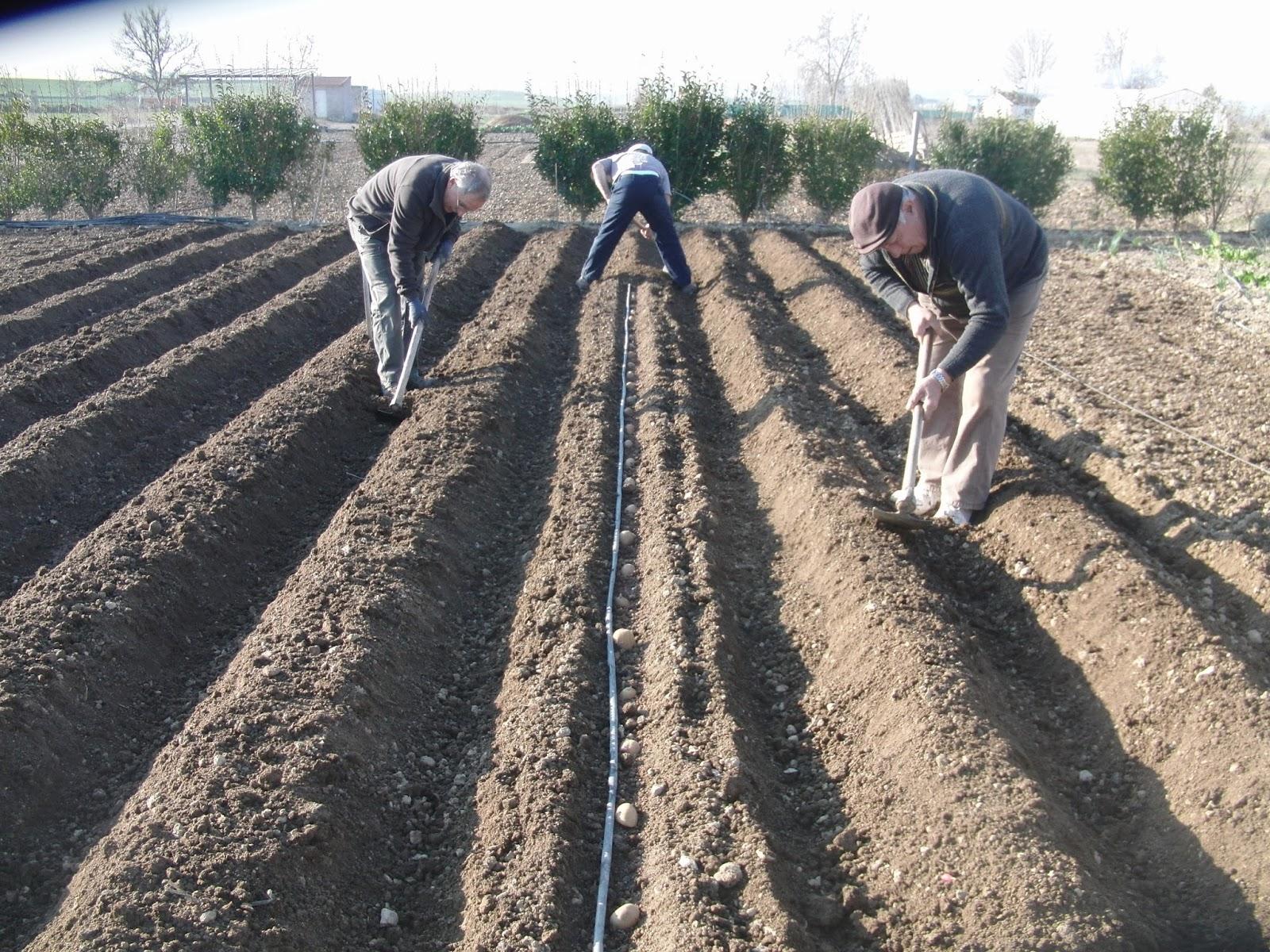 Un huerto familiar sembrar patatas dia 11 de marzo for Como cultivar patatas