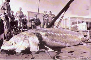 http://3.bp.blogspot.com/-P2gN6gIVmQk/T_iW2wIaarI/AAAAAAAAGR0/dbSD8ocDHCI/s320/STURGEON+BELUGA+Huso+huso+big+fishes+huge+world+record++massive+caught+records+largest+IGFA++biggest+fish+trophy+ocean+sea+monster+giant+images+lb+pound++caught++pictures+freshwater+saltwater+gigante+pesce+v.jpg
