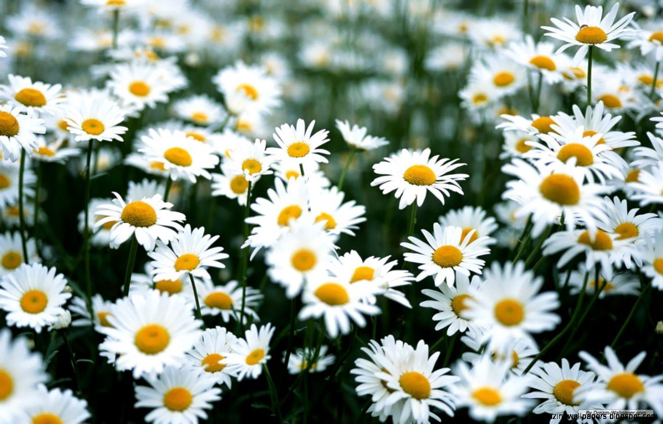 blossom daisies  Tumblr