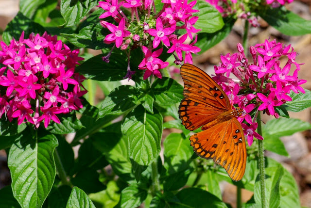 Pentas lanceolata with a gulf fritillary butterfly (Agraulis vanillae)