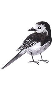 White Wagtail - Jen Haugan Animation & Illustration